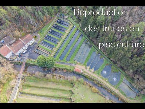 Reproduction des truites dans notre pisciculture de la Mouline,