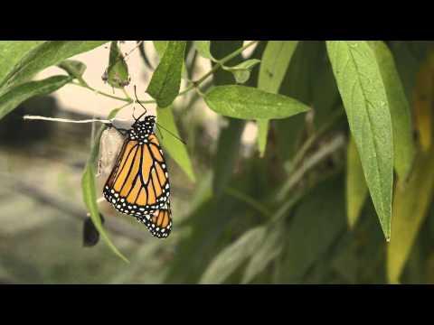 Monarch Video