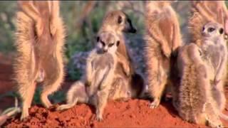 Сурикаты — маленькие сторожа пустыни   Различные короткие видео ролики, приколы и др  @ EX UA