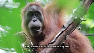 20 Years conserving Sumatra's endangered Orangutans
