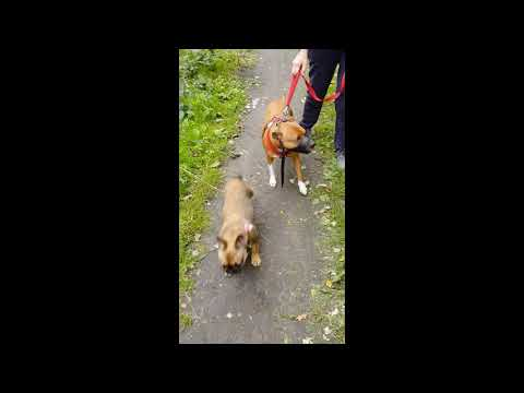 Socialising dogs  Getting a Dalmatian and a Staffie X  used to other dogs on a narrow walkway Large