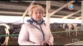 В каких люксовых условиях в Беларуси живут племенные коровы