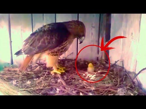 , title : '農夫はニワトリの卵をワシの巣にこっそり置きました! その後ヒヨコに起こったことは・・・