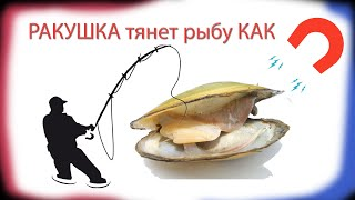 Какая рыба ловится на ракушку перловицу