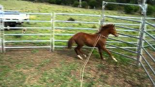 Cowboy catching brumby foal with lasso