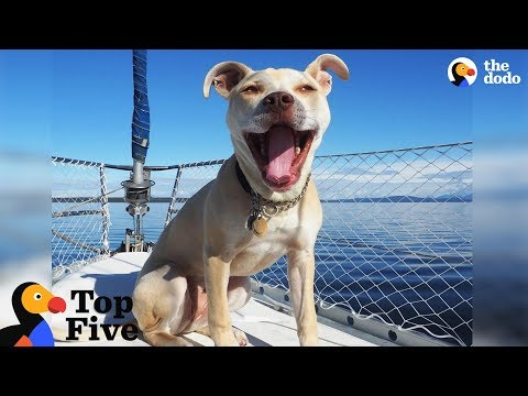 Pit Bull Dog Lives On Sailboat With Her Cat + Other Animals With Interesting Lives | The Dodo Top 5