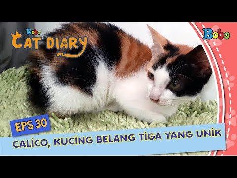 Diary Kucing Eps 30 - Kenapa Kucing Belang Tiga Selalu Betina?
