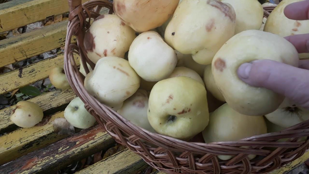 Яблоня Антоновка в саду.Собираем последний урожай зимнего сорта яблок