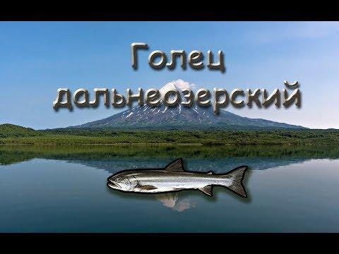 Русская Рыбалка 3.99 (Russian Fishing) Голец дальнеозерский