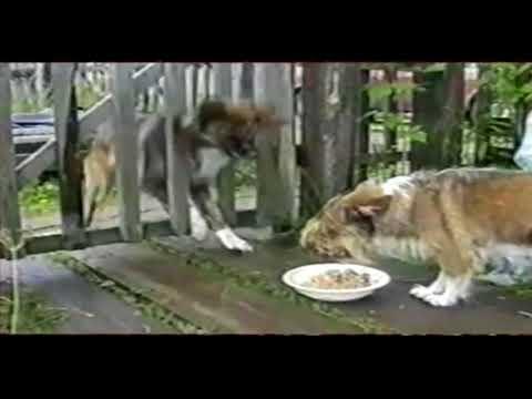 Собака голодная и злая