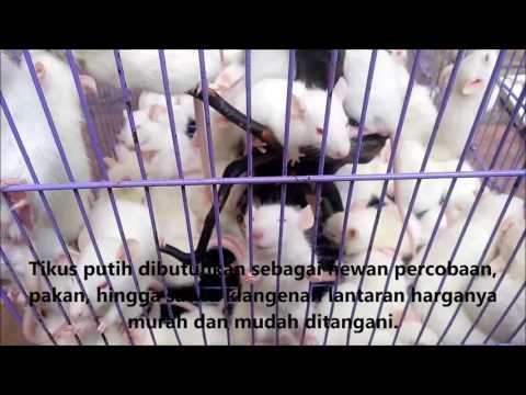 Video Peluang Usaha Beternak Tikus Putih
