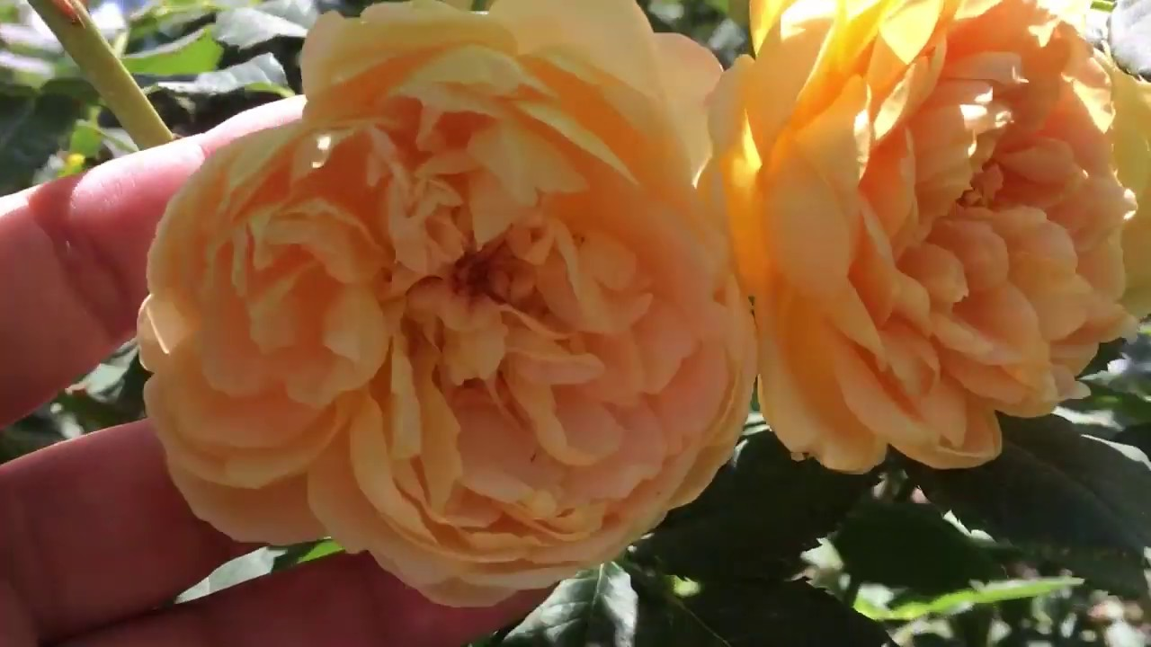 Роза Голден Селебрейшн, английская роза в моем саду. Описание сорта.