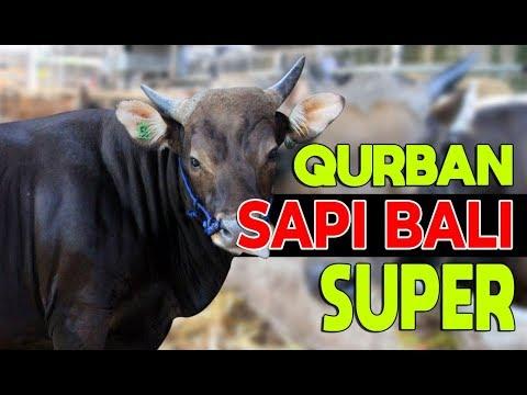 Sapi Bali di Sapibagus Farm untuk Hewan Qurban