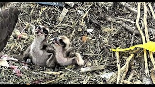 Chesapeake Conservatory Osprey Chicks Have a Good Feeding 2018 05 26
