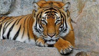 Тигры (лат. Panthera tigris)