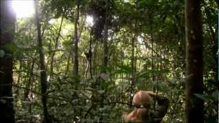 preview picture of video 'Chimps in Budongo Forest, near Murchison Falls'
