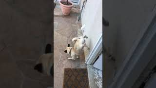 animale cainele urineaza