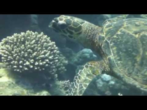 Tauchen mit Dugong (Gabelschwanzseekuh), Akassia Diving Spot ´EL Sheik Malik´,Ägypten