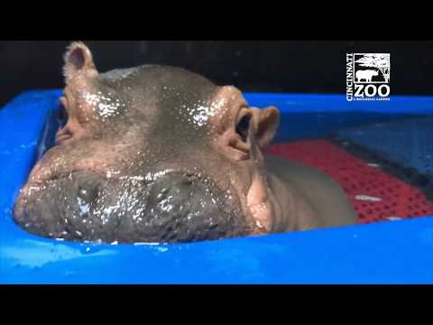 Baby Hippo Fiona Like You've Never Seen Her Before
