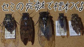 拾ったセミの死骸から昆虫標本を作るWayofmakinganinsectspecimenusingadeadbodyofthecicadapickedup
