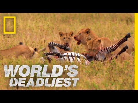 Lev versus zebra