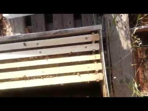 пчеловодство, мой первый рой 7 .неделю спустя .