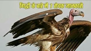 गिद्धों के बारे में रोचक जानकारी  , Amazing Vultures