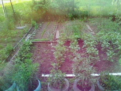 Уход за помидорами после посадки в грунт