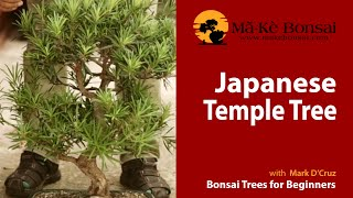 57) How to Care for Japanese Temple Podocarpus Macrophyllus Bonsai Trees For Beginners