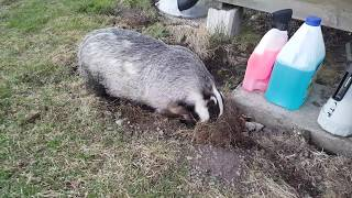 Badger destroying the lawn