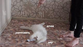 Толстый Ленивый Кот Играет
