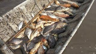 Bắt cá trên ruộng rất vui ở miền tây | Mekong fishing