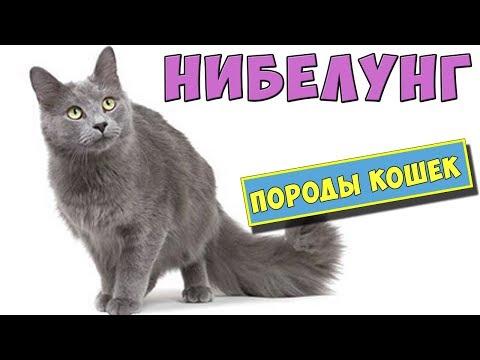 Кошки породы Нибелунг. Особенности породы, уход, цена