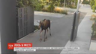 В Киеве дикий лось забрел на конфетную фабрику Порошенко. Видео