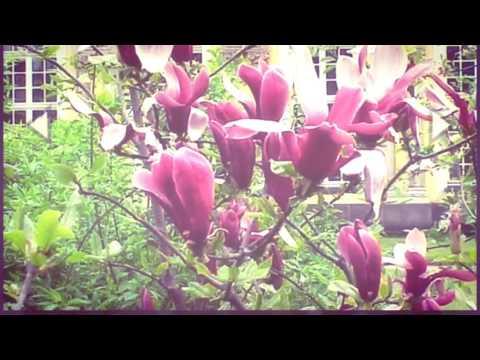 Video Tanaman langka,  Bunga kantil merah jenis yang paling jarang di jumpai di sekitar kita.