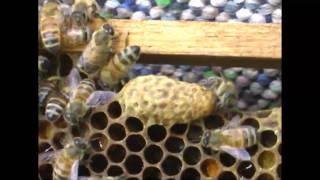 Queens Hatching
