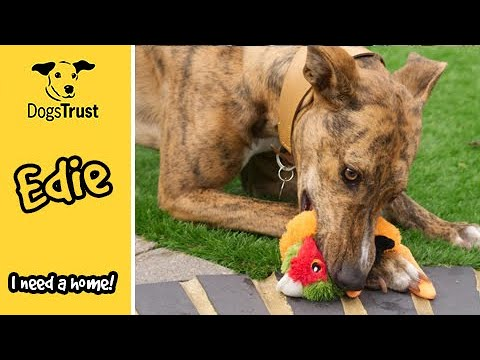Edie the Lurcher Loves Fuss and Cuddles | Dogs Trust Salisbury