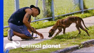 Malnourished Dog is Saved From the Streets | Pit Bulls & Parolees by Animal Planet