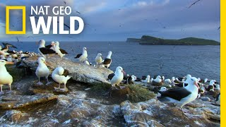 The Enduring Love of the Albatross | Wild Argentina