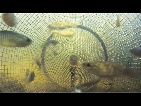 Catching Fish from Inside a Minnow Trap POV 2