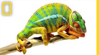 Beautiful Footage: Chameleons Are Amazing   National Geographic