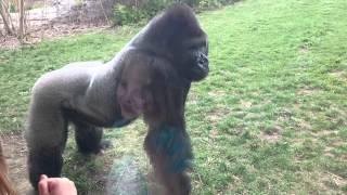 Смотреть онлайн Обезумевшая горилла чуть не напала на людей