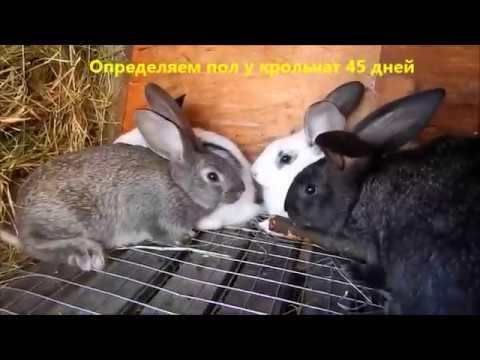 Как определить пол у кроликов.1,5 месяца