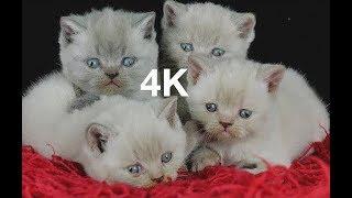 Kittens Development 100 Days - British Shorthair 126 MINS - 4K