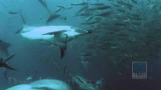 Vieogallery – Sardine Run – parte 2