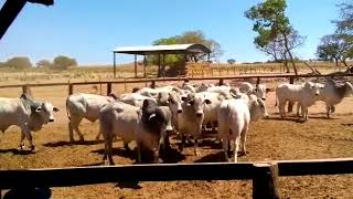 Bovino Corte Nelore Tourinho - e-rural Imagens