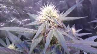 Mars Hydro LED grow - Cannabis plants in Vegetation and Flower