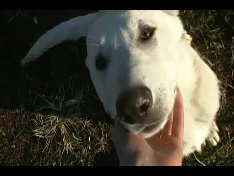 Princess Leias Mr. Spiced White Cocoa White Male Puppy