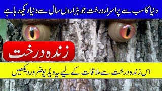 Oldest Tree in the World Hidden in White Mountains - Purisrar Dunya - Mysteries Of Trees