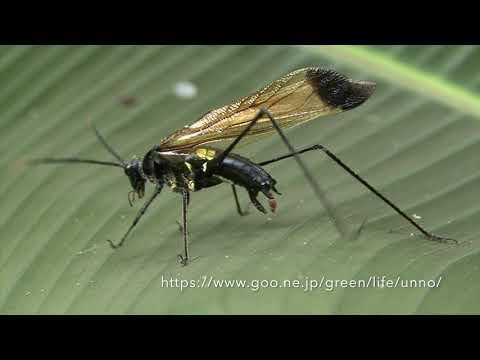 ハチに似たツユムシ(ハチモドキギス) Wasp mimic Katydid (Aganacris sp.)
